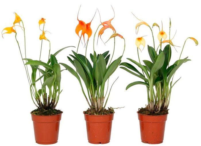 Орхидея Масдевалия