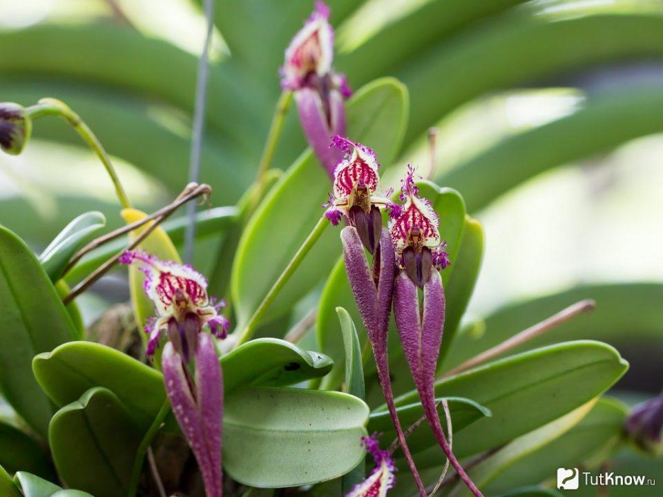 Орхидея Булбофилум