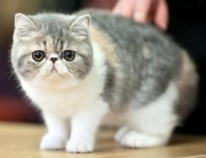 екзотична котка