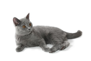 british-shorthair-cats-and-kittens-10