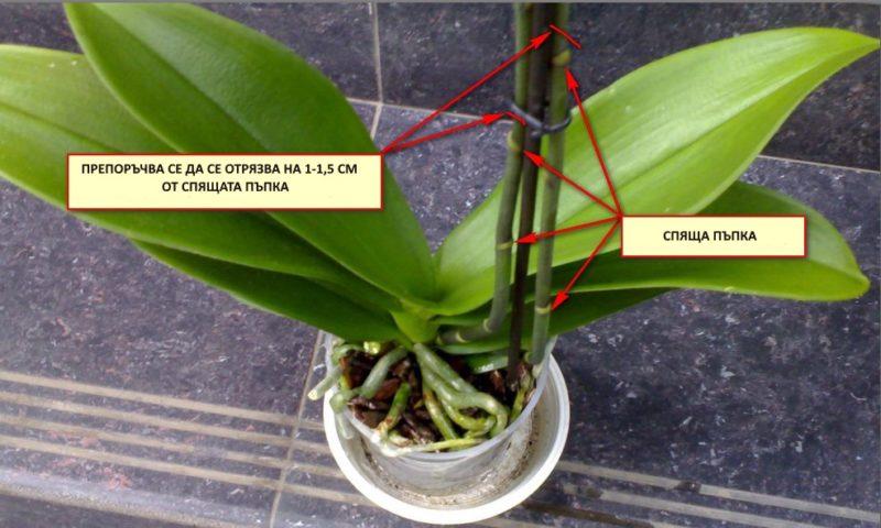 podrqzvane-na-orhideq