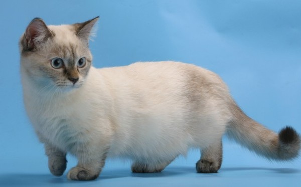 Късолапа котка манчкин