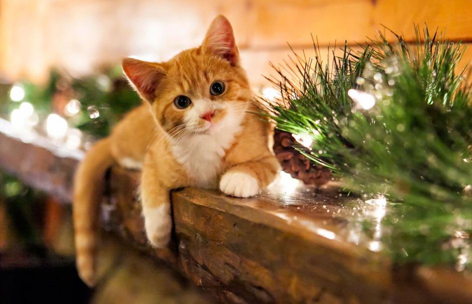 Кои са най-красивите породи котки