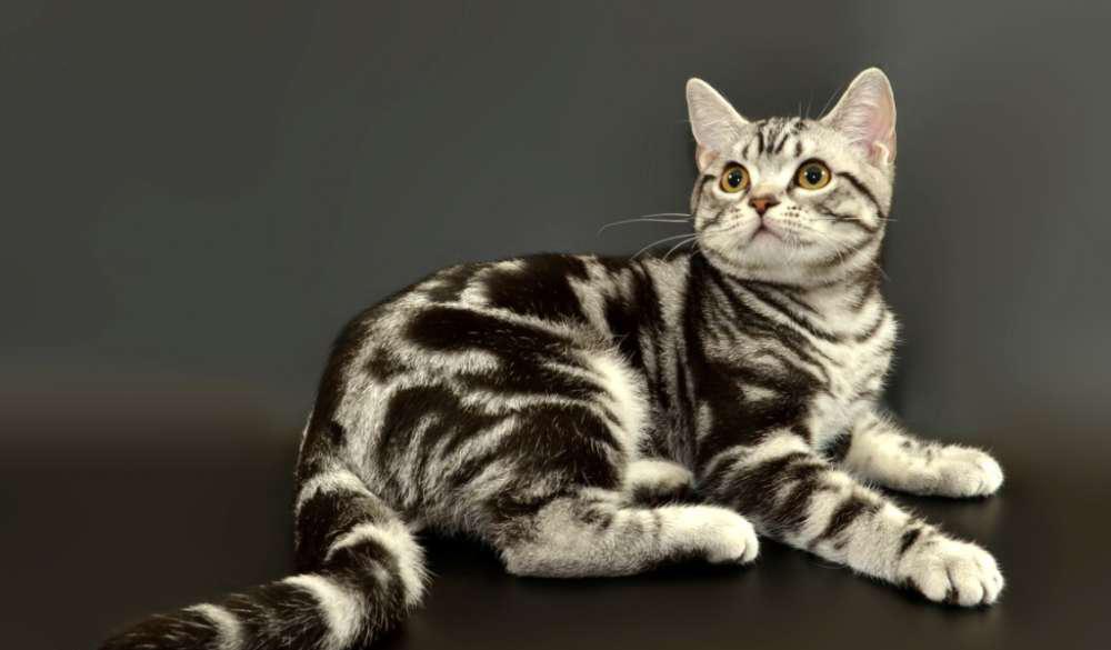Американска къскосместа котка