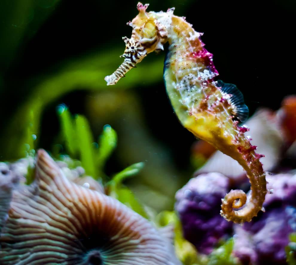 Размножаване на морско конче