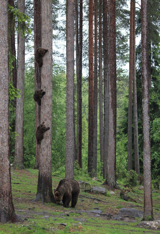 смешна снимка на мечки