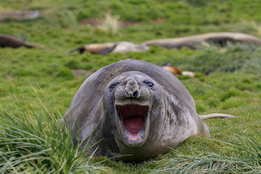 смешна снимка на тюлен