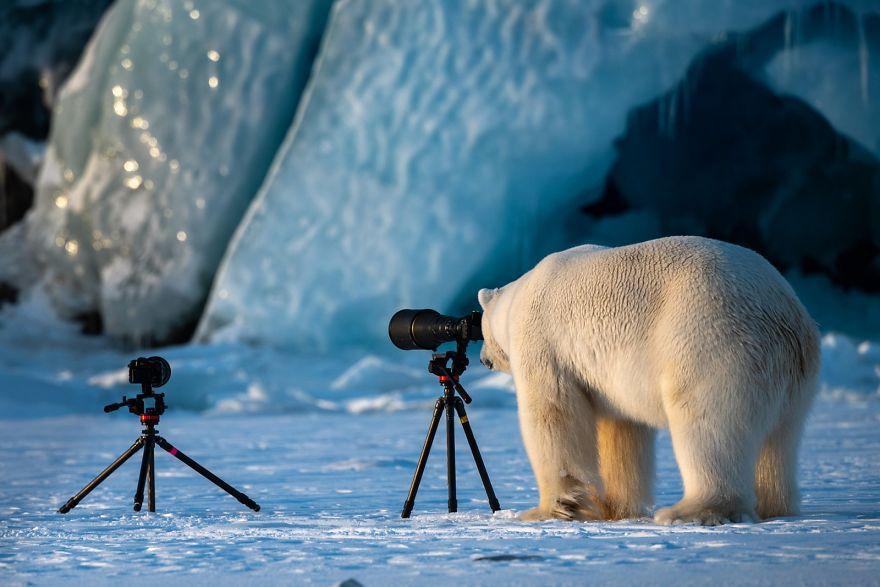 смешна снимка на полярна мечка