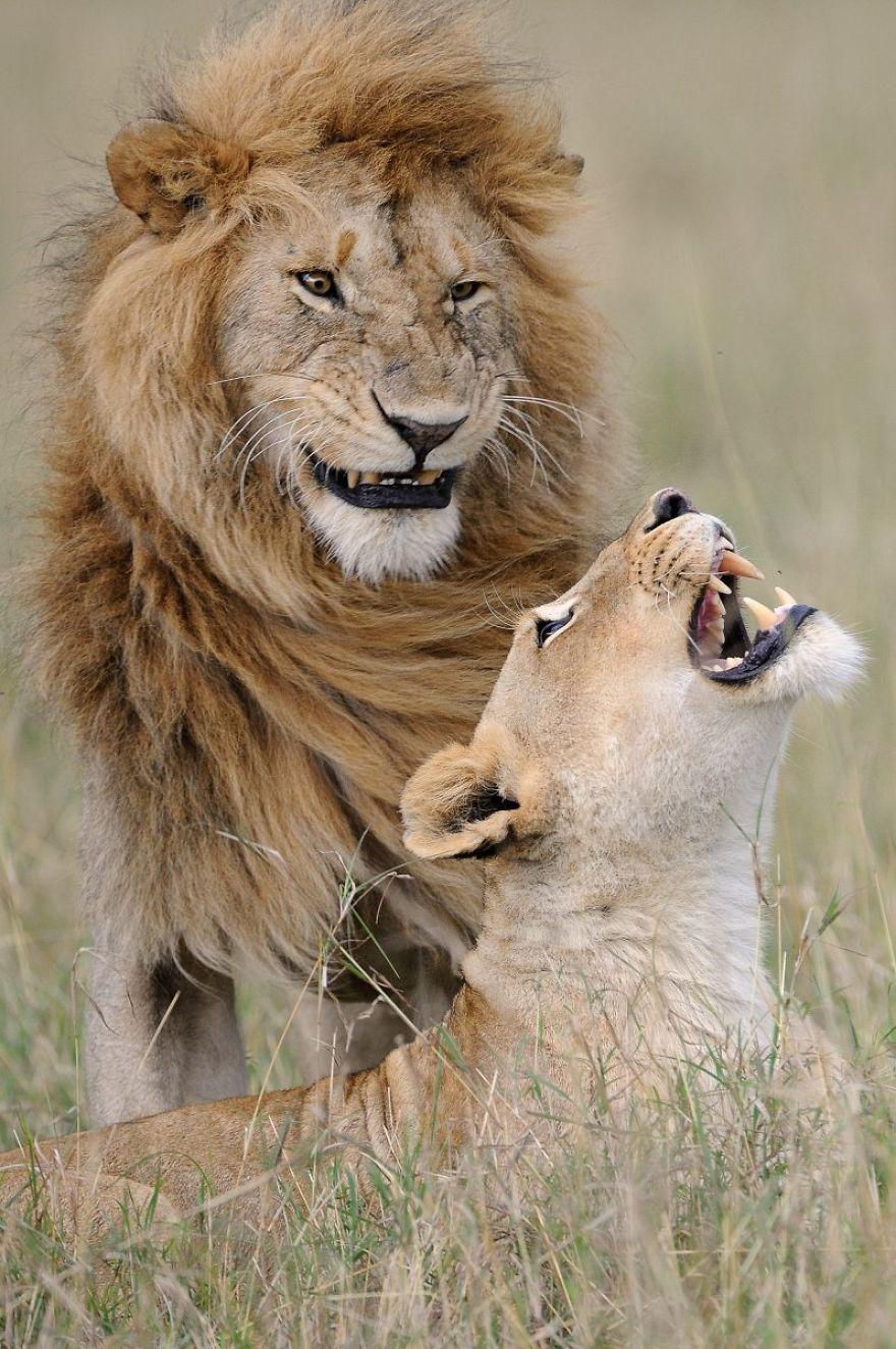 смешни снимки на лъвове