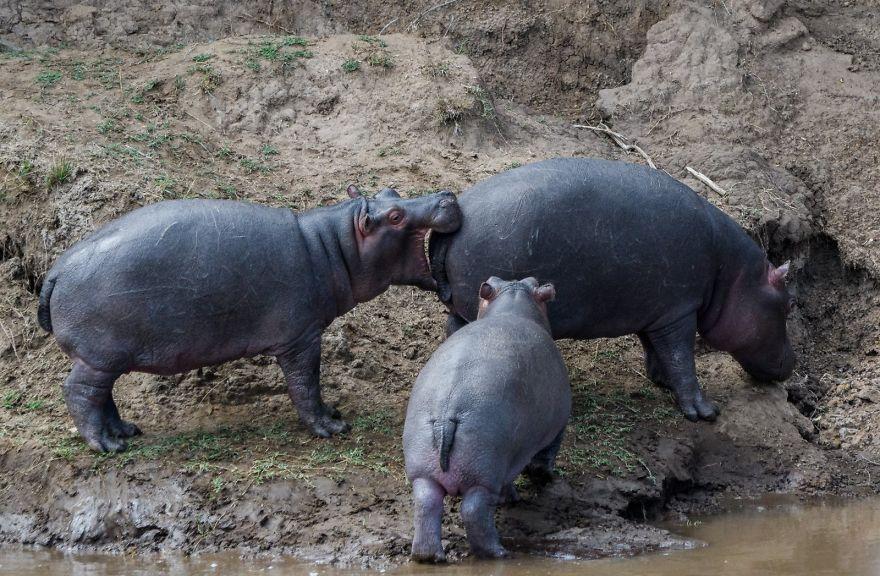 смешни снимки хипопотам