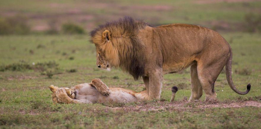 смешни снимки - лъв
